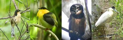 Black-capped Donacobious, Golden-collared Manakin,Spectacle Owl,Capped Heron