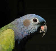 Bluehead Parrot